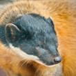 Yellow-throated marten — Stockfoto
