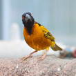 Stock Photo: Village weaver
