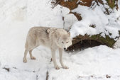 Tundra wolf — Stock Photo