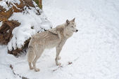 Tundra wolf on the snow — Stock Photo