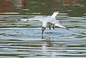 Black-headed gull dives — Stock Photo