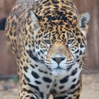 Portrait of a jaguar — Stock Photo
