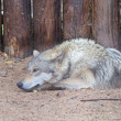 Grey wolf — Stock Photo #30952245