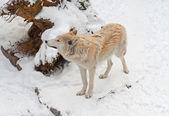 Tundra kurdu — Stok fotoğraf