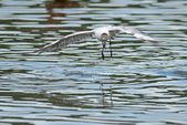 Gull flies over the water — Stock Photo