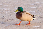 Walking duck — Stock Photo