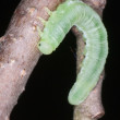 A butterfly larva — Stock Photo