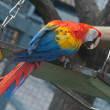The scarlet macaw — Stock Photo