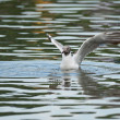 Black-headed gull unfolds its wings — Stock Photo