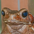 Portrait of a cane toad — Stock Photo