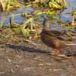 Stock Video: Ducks on pond