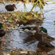 Ducks on the pond — Stock Video