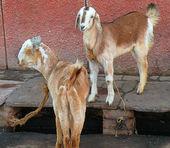 Sheep and kashmir (pashmina) goats, India — Stock Photo