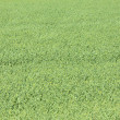 Yellow-green grass — Stockfoto