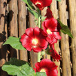 Hollyhocks - Stockfoto