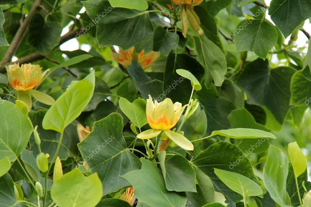 Tulip Tree in Bloom Tulip Tree Bloom Photo by