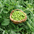 Garden peas — Stock Photo