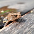 Young toad — Stock Photo