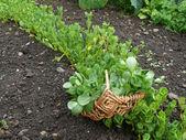 Vegetable purslane — Stock Photo