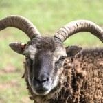 Portrait of a goat — Stock Photo