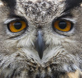 Close up of hawk owl face — Stock Photo