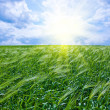 Stock Photo: Green wheat in the field