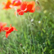 Poppy flowers — Stock Photo