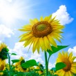 Stock Photo: Sun Flower on blue sky background