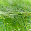 Stock Photo: Green wheat in the field.