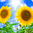 Sun Flower on blue sky background — Stockfoto