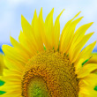 Sun Flower on blue sky background — Stock Photo