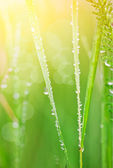 La hierba con gotas de rocío — Foto de Stock