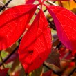 Stock Photo: Red leaves