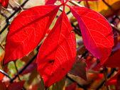 Folhas vermelhas — Fotografia Stock