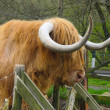 Hamish, high land cow with brown fur in feance in Scotland. — Stock Photo #17622451