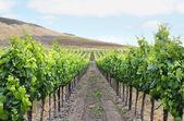 Grape Vineyard — Stock Photo