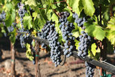 Fresh Grapes — Stock Photo