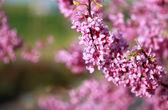Pink Blossom — Stock Photo