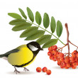 Tomtit and rowan — Stock Vector #32030467