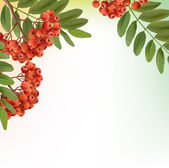 Background with bunch of rowan — Stock Vector