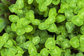 Clover green background — Stock Photo