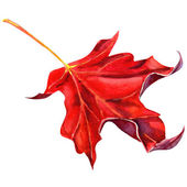 Rotes ahornblatt als herbst symbol — Stockfoto