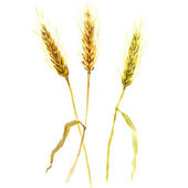 Watercolor wheat ears isolated — Stock Photo