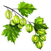 Fresh and Ripe Organic Gooseberry — Stock Photo