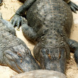 Two alligators sunbathing on sand — Stock Photo