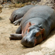Sleeping hippopotamus - Stock Photo
