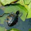 Small green turtle in pond — Stock Photo