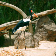Royalty-Free Stock Photo: Saddle-billed stork