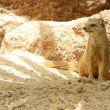 Yellow mongoose - Stock Photo
