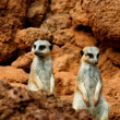 Stock Photo: Two meerkat in desert